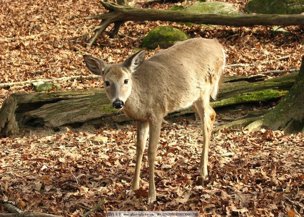 小鹿 母鹿 野生动物 大树 树木 落叶 树叶 生物世界 摄影 72dpi jpg