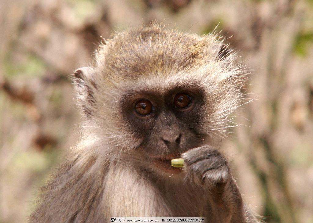 小猴子 可爱 野生动物 猴头 生物世界 摄影 72dpi jpg