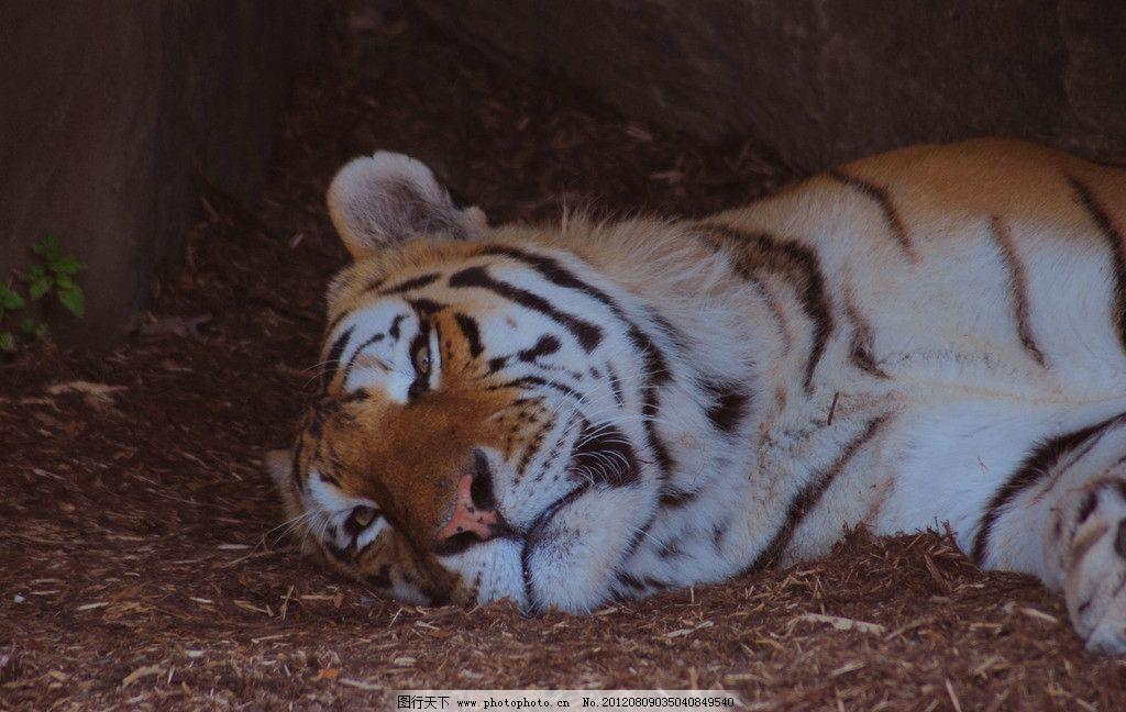东北虎 老虎 华南虎 休息 睡觉 野生动物 生物世界 摄影