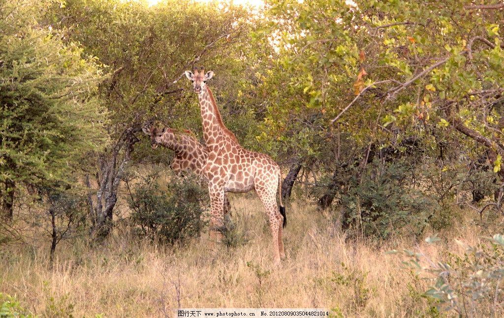 长颈鹿 野生动物 大森林 树木 大树 树叶 草原 生物世界 摄影 180dpi