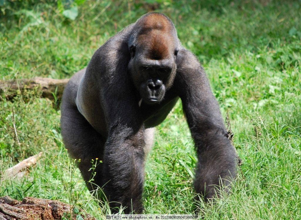 黑猩猩 动物园 草地 大猩猩 绿草 摄影