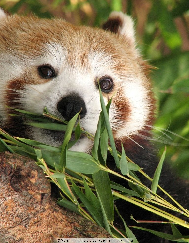 小熊猫 可爱 动物 小浣熊 吃竹子 野生动物 生物世界 摄影 360dpi jp