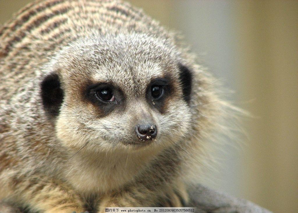 猫鼬 可爱 野生动物 保护动物 生物世界 摄影 360dpi jpg