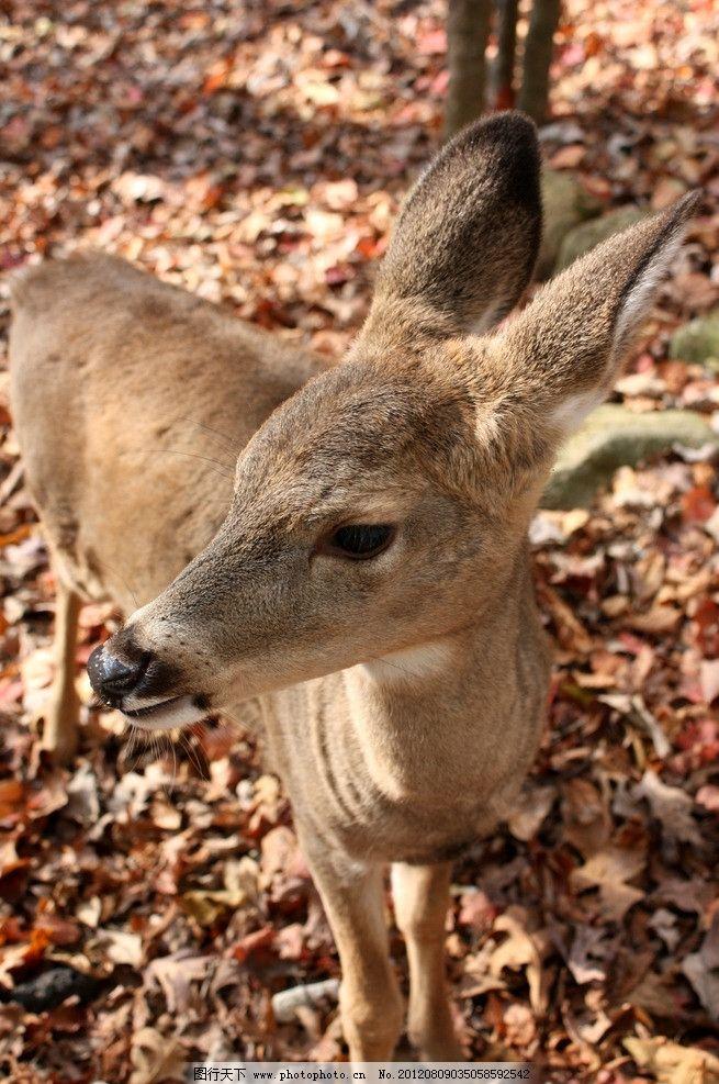 小鹿动物 小鹿 落叶 树叶 野生动物 可爱 动物园 生物世界 摄影 72dpi