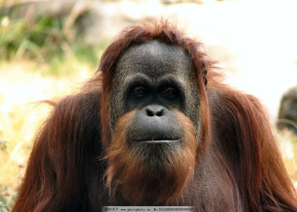 红毛猩猩 长矛猩猩 野生动物 猿猴 生物世界 摄影 360dpi jpg