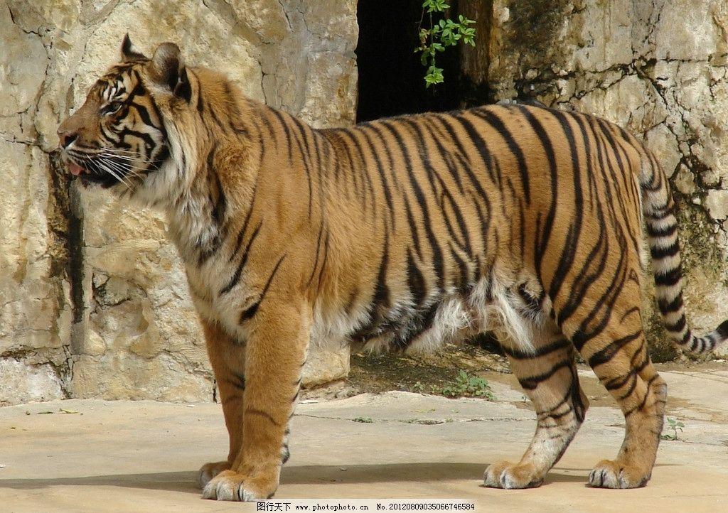 东北虎 老虎 华南虎 动物园 饲养 野生动物 生物世界 摄影 72dpi jpg