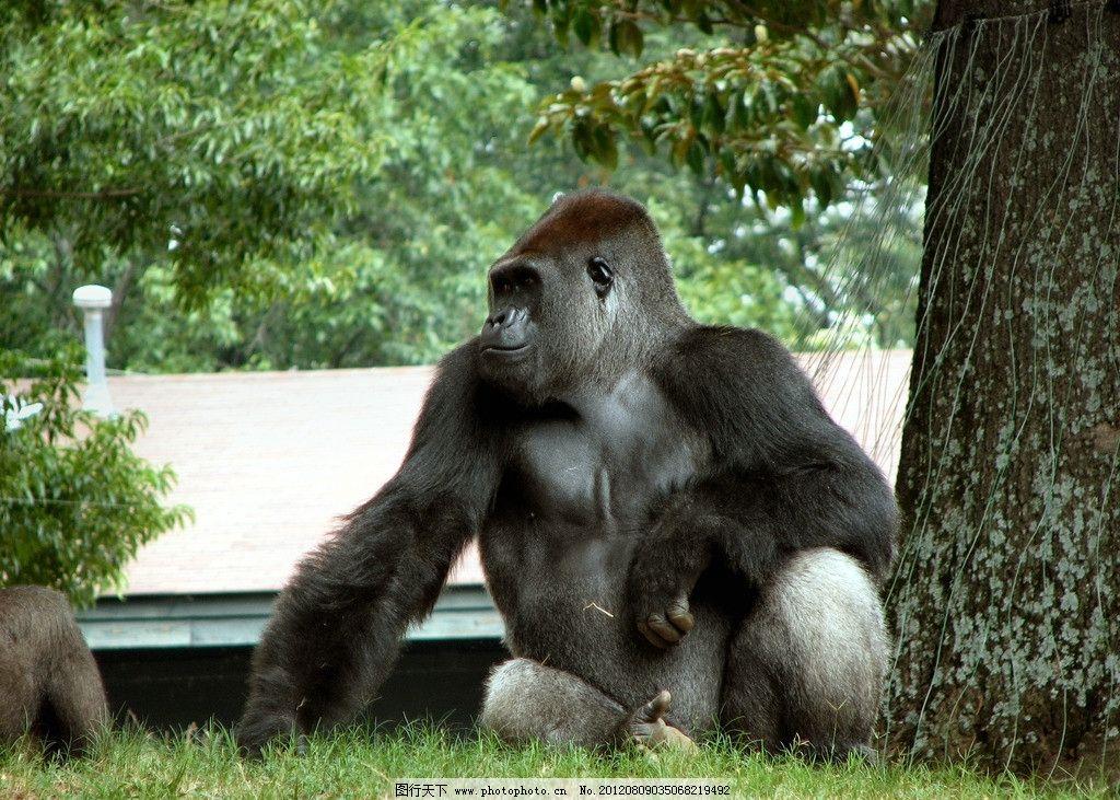 大猩猩 黑猩猩 保护动物 草地 动物园 金刚 摄影