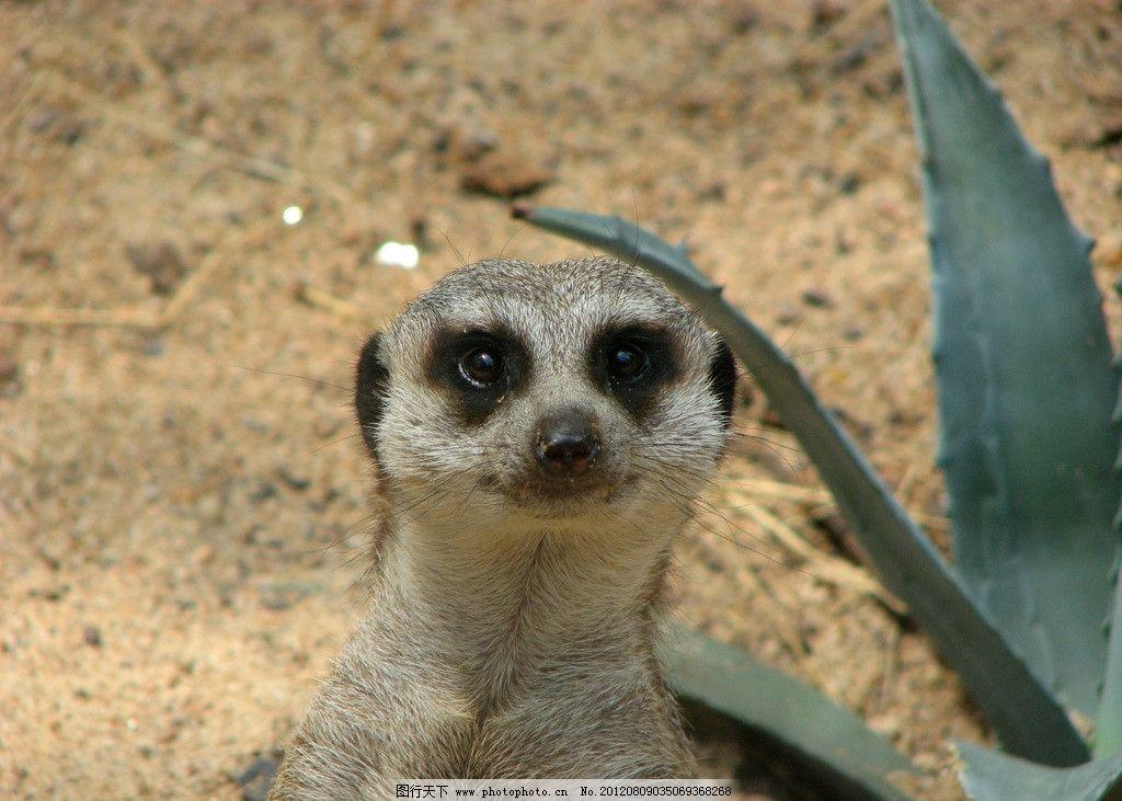 猫鼬 可爱 野生动物 保护动物 生物世界 摄影