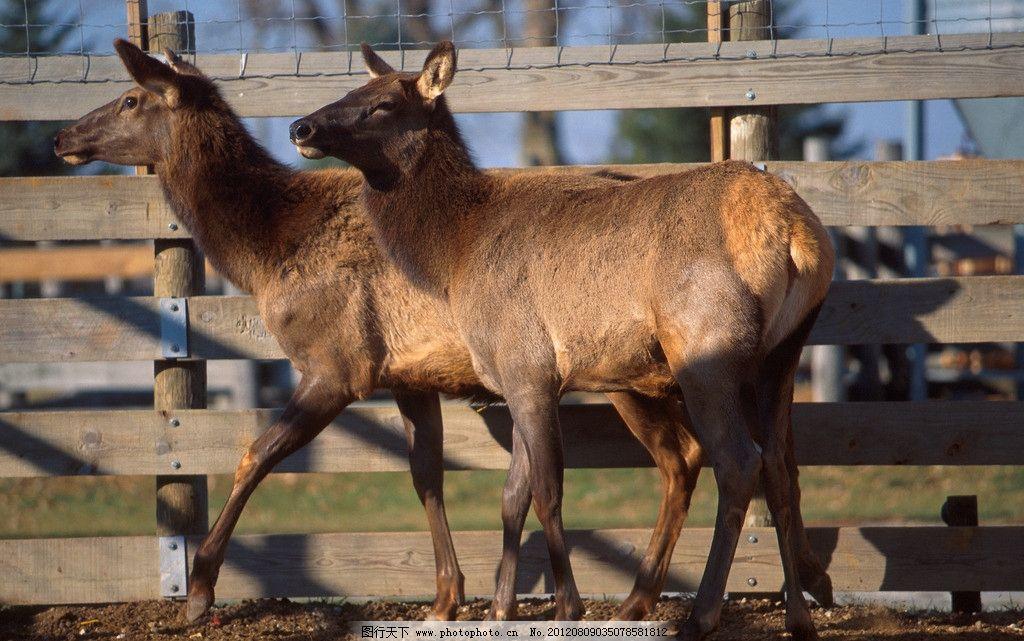 麋鹿 四不像 饲养 动物园 摄影