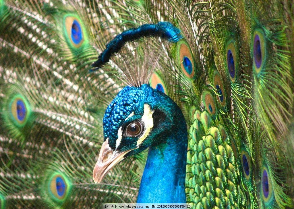 孔雀开屏 野生动物 可爱