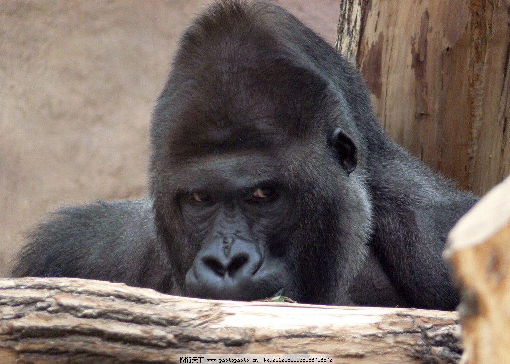 大猩猩 野外 自然 野生动物园 草地 树林 野生动物 大树 树干 生物