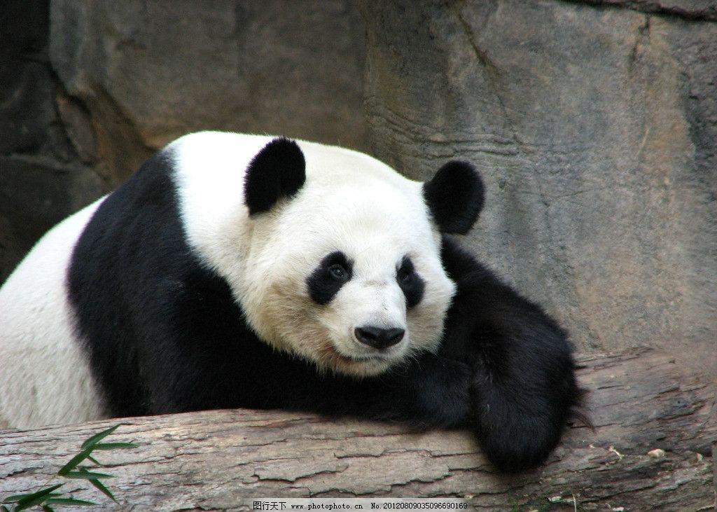 大熊猫 国宝 可爱 珍贵 珍惜 保护动物 吃竹子 野生动物 生物世界