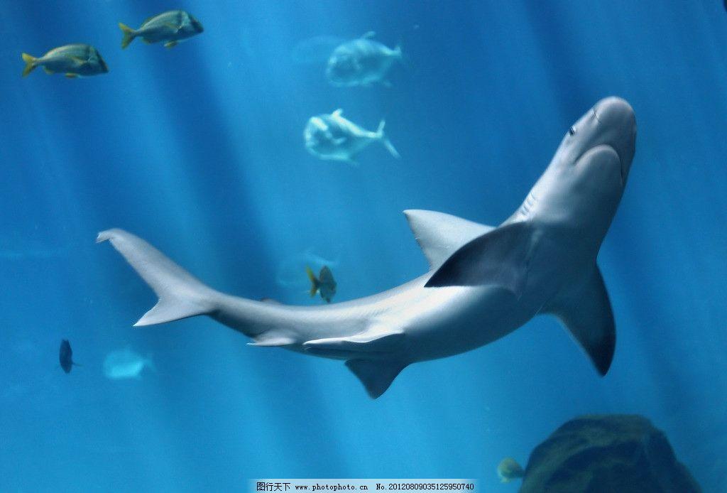 大鲨鱼 深海鱼 观赏鱼 海底世界 大海 海洋 海水 海鱼 热带鱼 鲨鱼