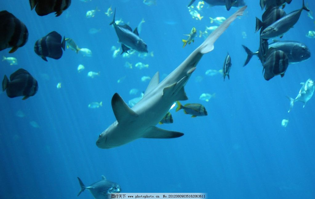 大鲨鱼 海洋 海水 大海 深海世界 海底世界 观赏鱼 小鱼 鱼类