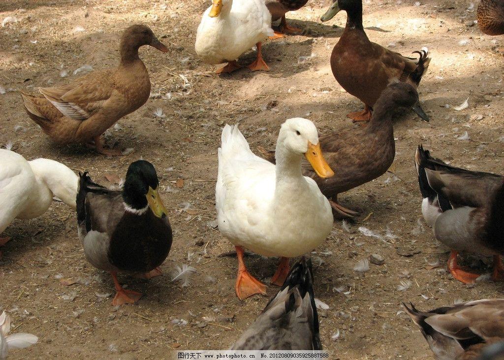 鸭子 家禽 可爱 饲养 家禽家畜宠物 摄影