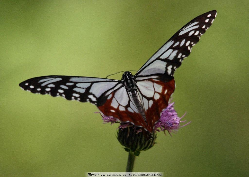 蝴蝶 花 纹蝴蝶 动物 昆虫 美丽 魅力 美 生物世界 摄影 72dpi jpg