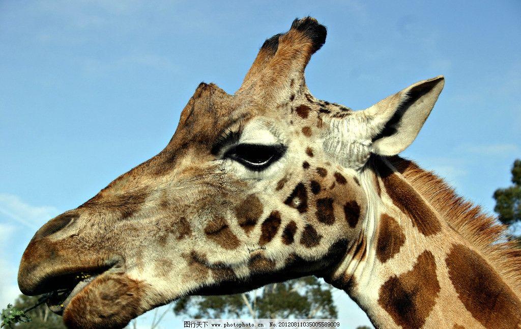 长颈鹿 野生动物 犄角 鹿头 生物世界 摄影