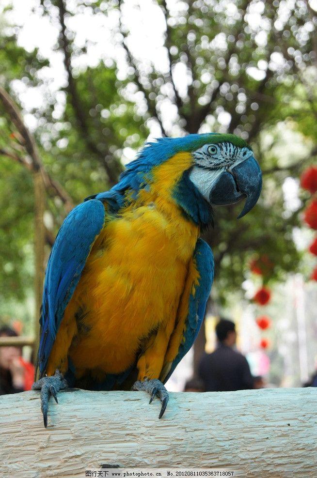 鹦鹉 蓝色羽毛 枝干 树木树叶 红色灯笼 人影 鸟类 生物世界 摄影 300