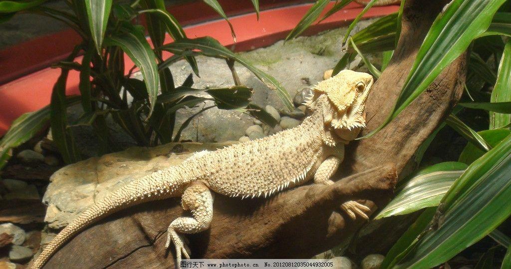 蜥蜴 爬行动物 东部华侨城 动物 野生动物 生物世界 摄影 72dpi jpg