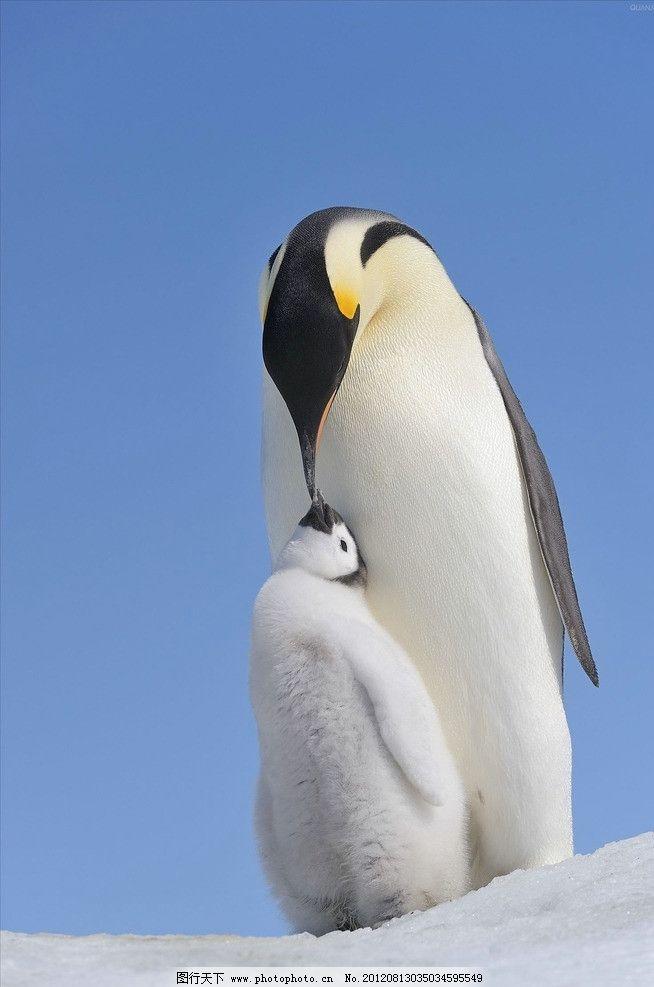 帝企鹅 企鹅 快乐 大脚 南极 冰川 亲子 哺育 动物 野生动物 生物世界