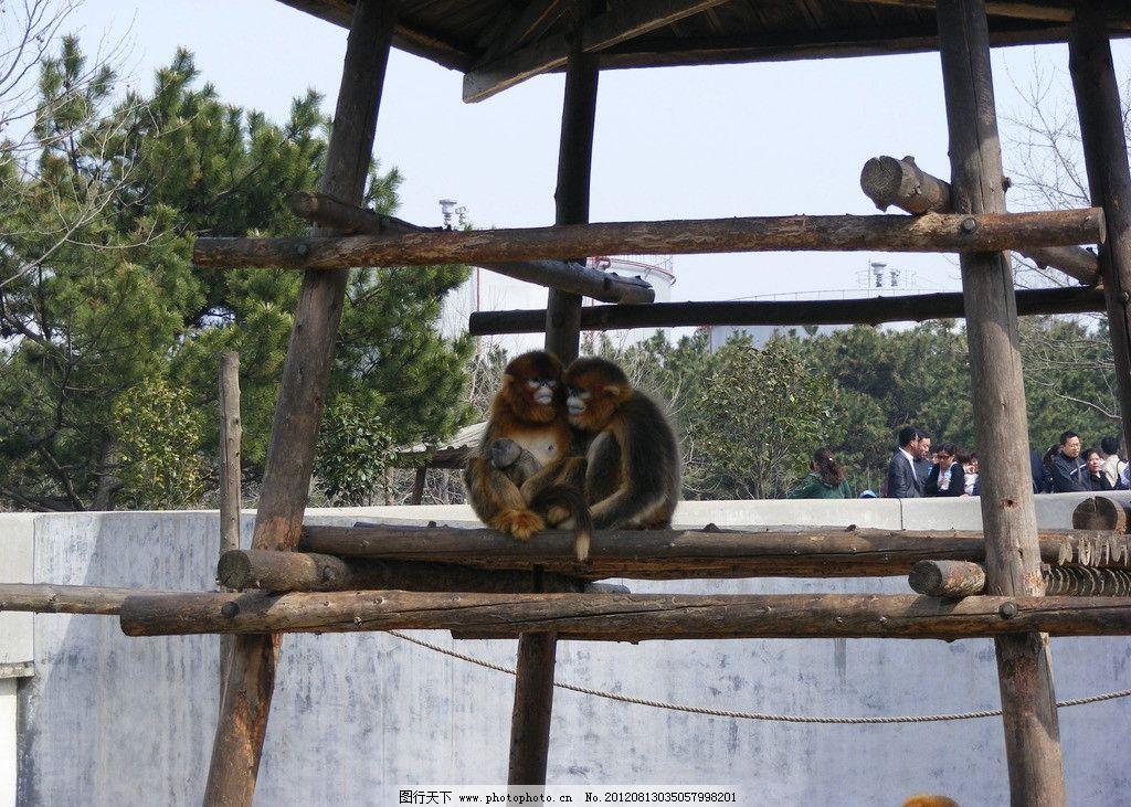 猴子图片,猴儿 动物园里的一家 架子 摄影-图行天下