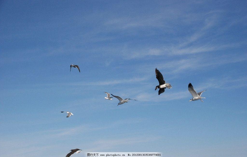 蓝天海鸥 蓝天 海鸥 飞鸟 鸟类 生物世界 摄影 300dpi jpg
