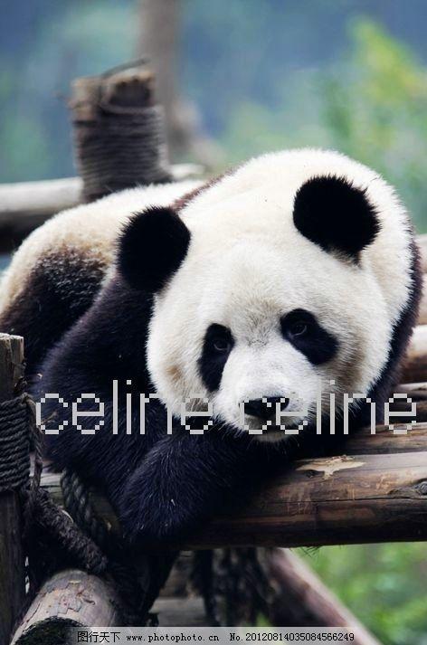 懒洋洋 大熊猫 可爱 竹子 国宝 熊猫 憨态可掬 高清 特写 动物 背景