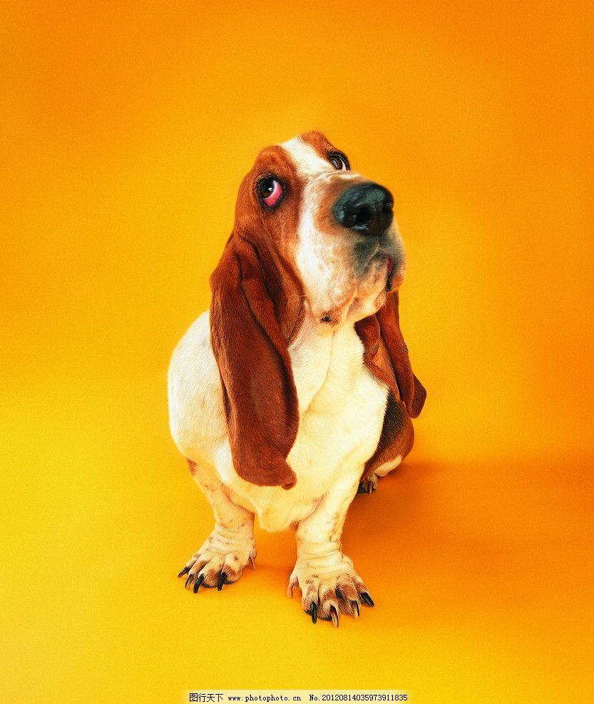 宠物狗 花狗 大耳狗 棕色耳朵 宠物 可爱宠物狗 家禽家畜 生物世界