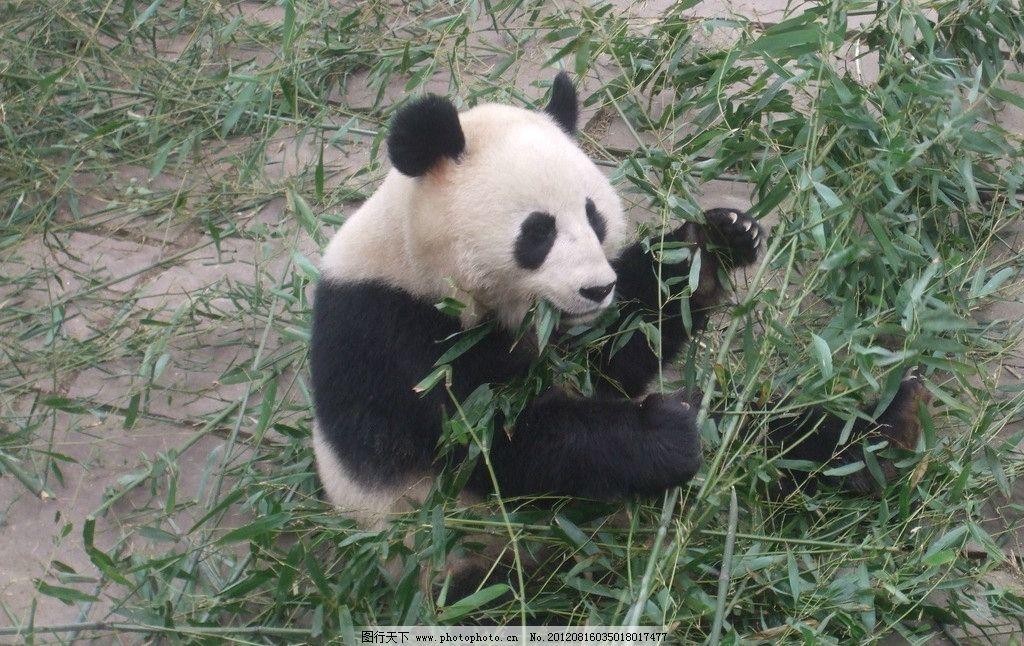 可爱的熊猫 熊猫 动物世界 熊猫吃竹子 自然 生态 大熊猫 国宝 野生