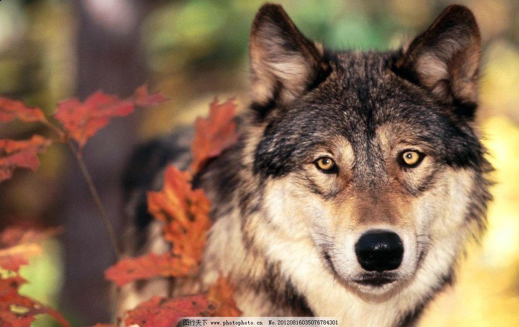 狼图 高清图 野生动物 生物世界 摄影