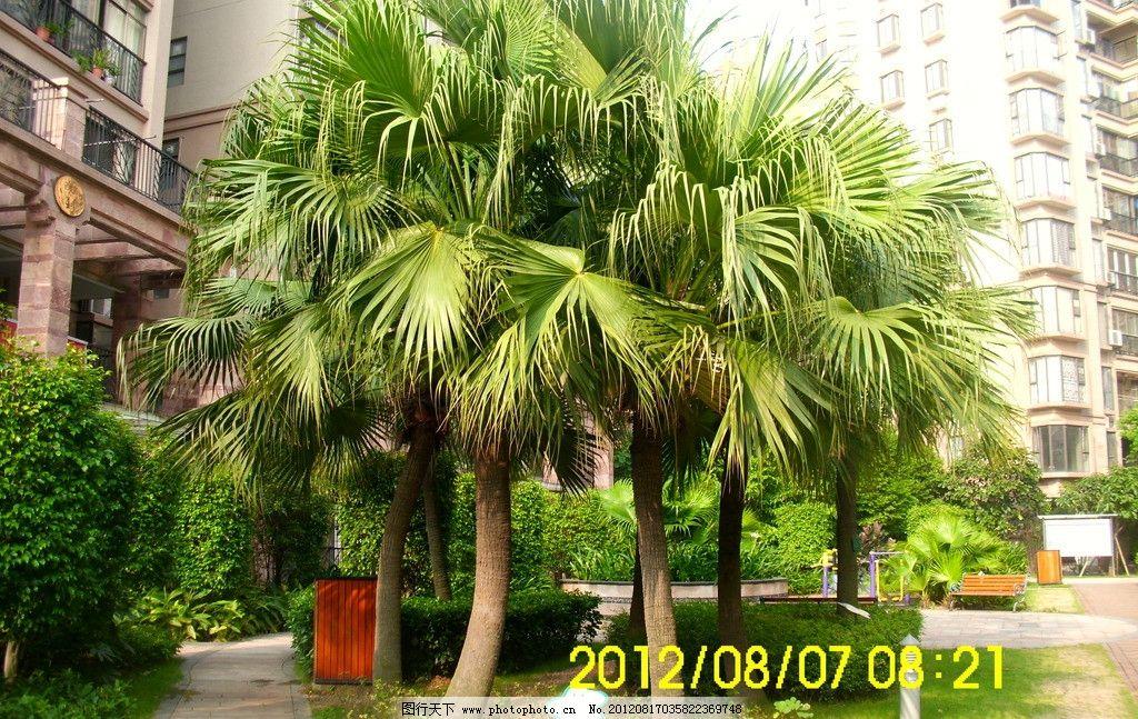 高干蒲葵 蒲葵 棕榈 树木树叶