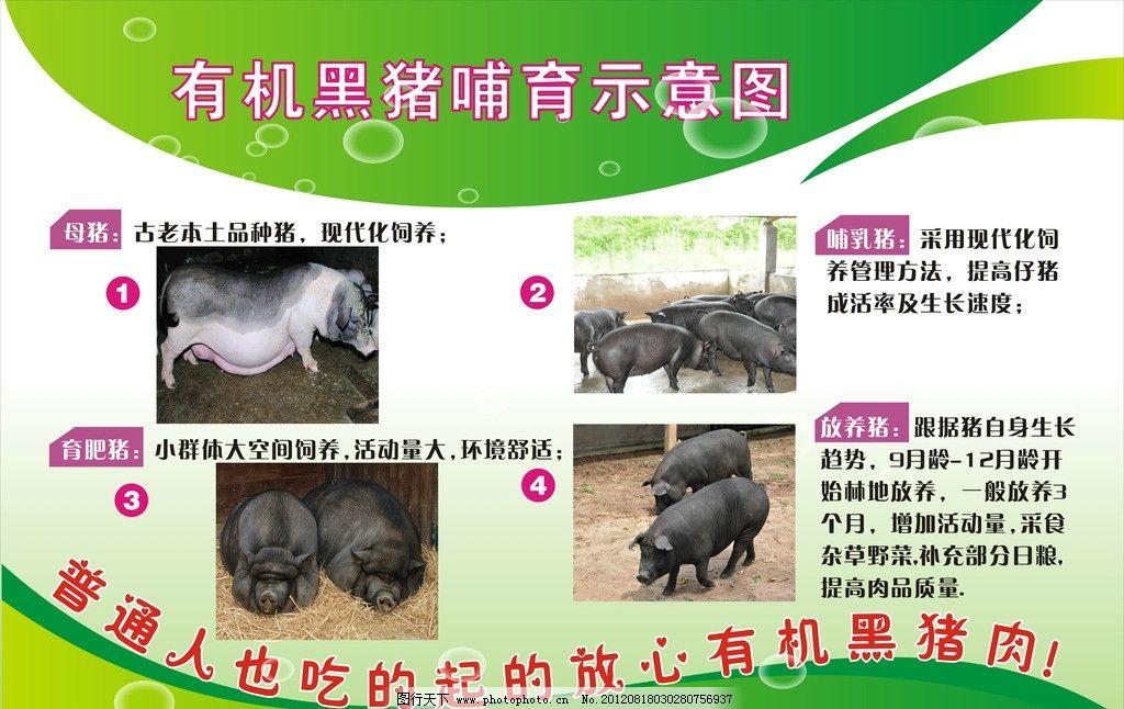 有机黑猪哺育示意图图片