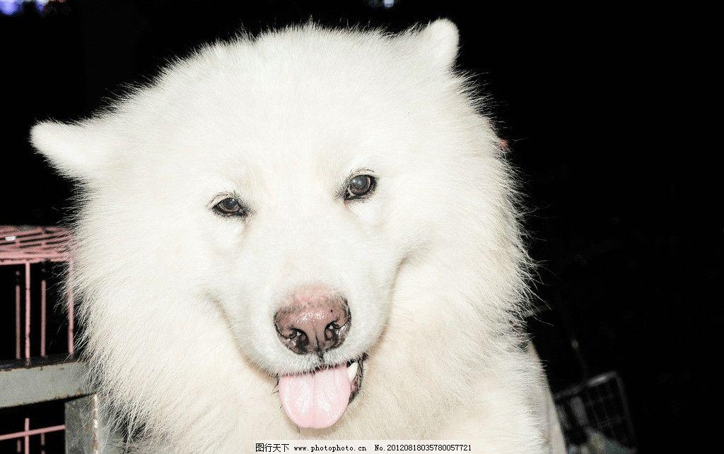 萨摩耶/萨摩耶狗图片