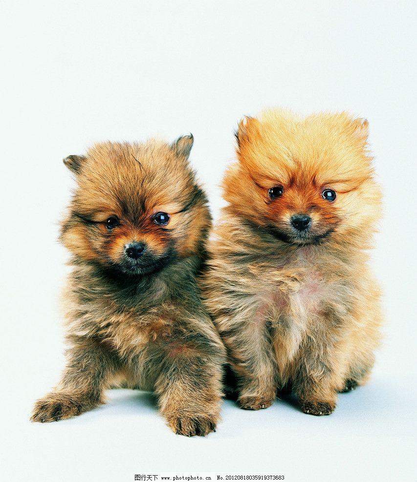 小狗 两只小狗 小花狗 双胞胎狗 狮子狗 狐狸眼 可爱宠物狗 家禽家畜