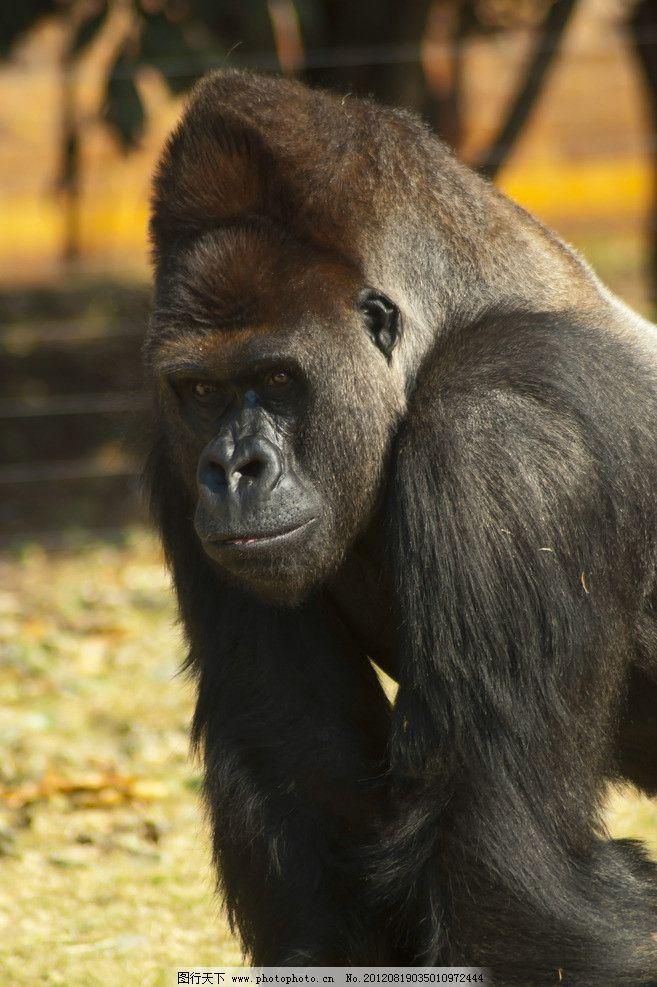 黑猩猩 大猩猩 野生动物 金刚 猿猴 生物世界 摄影 300dpi jpg