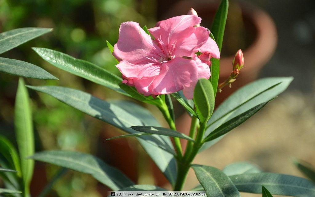 夹竹桃 花卉 柳桃 柳叶桃 聚伞花序 顶生 花冠 漏斗状 桃红色 花卉