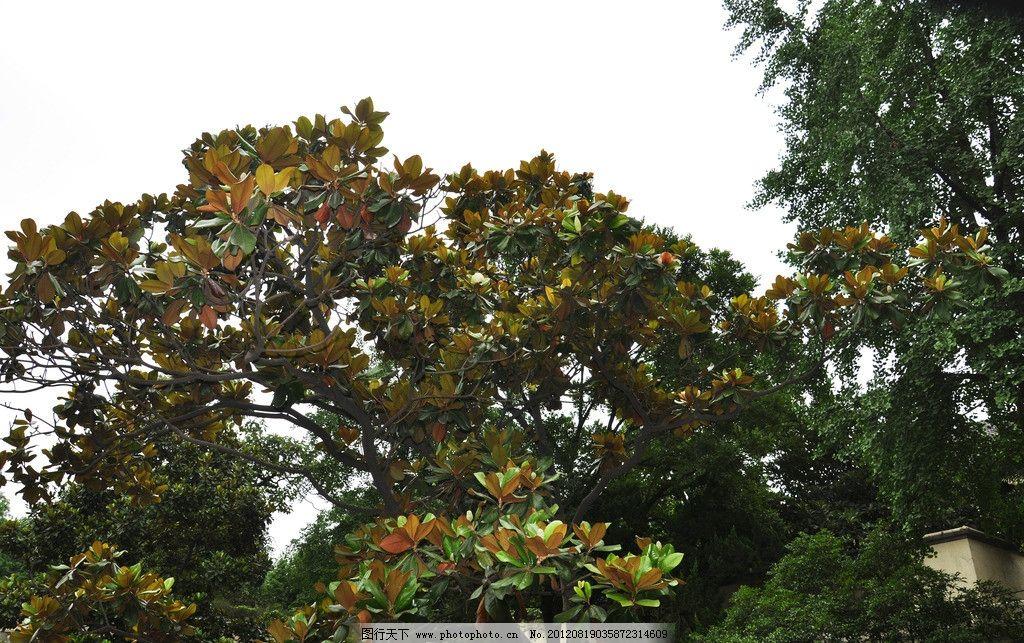 玉兰树图片