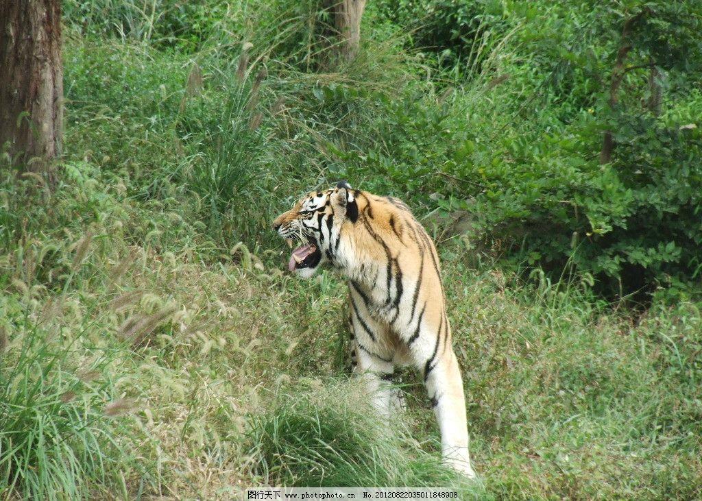 猛虎下山 东北虎 老虎 野生动物 生物世界 摄影