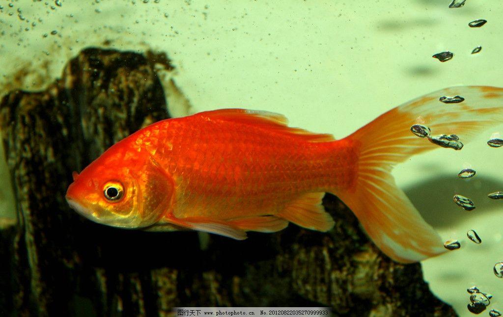 金鱼 鲤鱼 水底世界 红色鲤鱼 气泡 假山 地产 摄影鱼 鱼类 生物世界