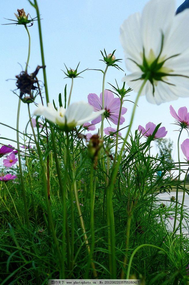 波斯菊 花草 植物 蓝天 夏天 小清新 花蕾 漫花天堂 生物世界图片