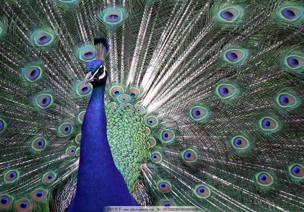 动物线条画孔雀
