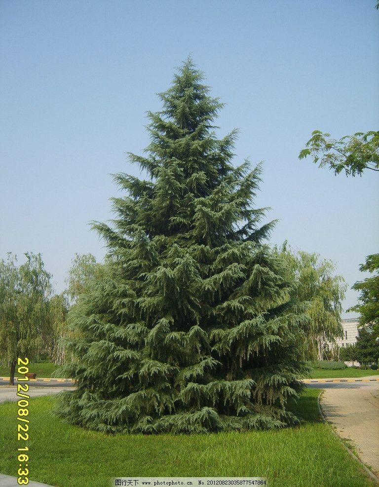 松树素材 素材 松树 园林