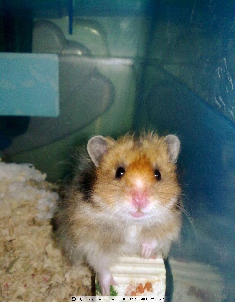 仓鼠 金丝熊 鼠 啮齿 野生动物 生物世界 摄影 300dpi jpg