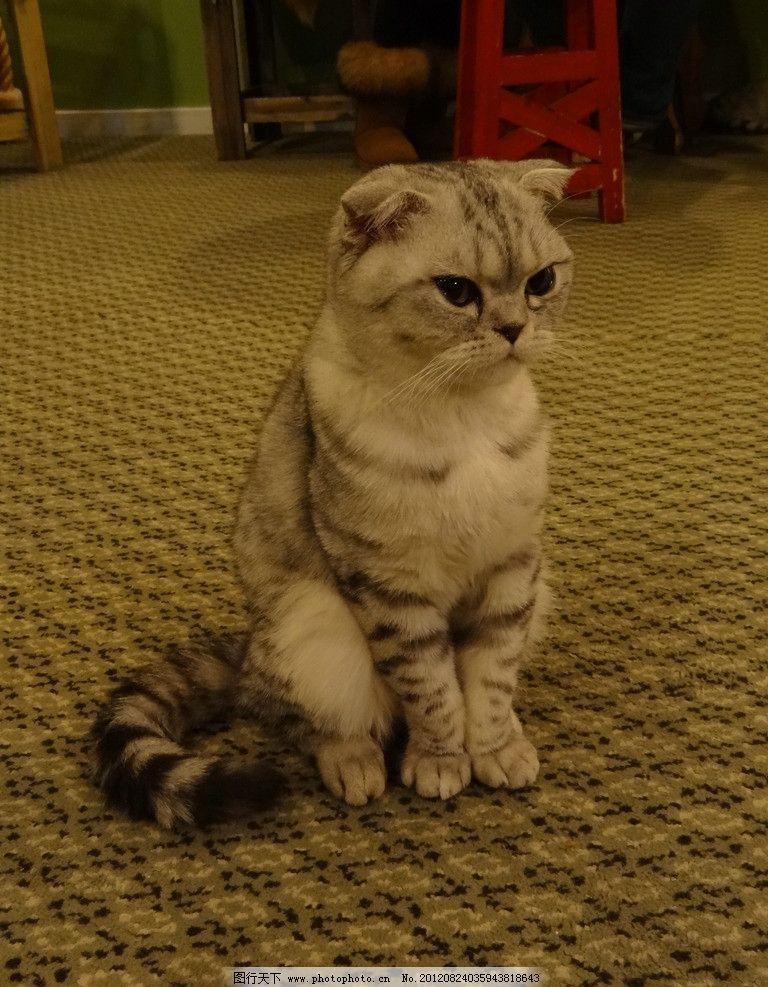 折耳猫 猫咪 端坐 专注 眼神 动物 家禽家畜 生物世界 摄影 72dpi jpg