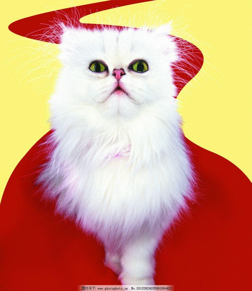 猫咪 白猫 可爱宠物猫 波斯猫 可爱猫咪 摄影