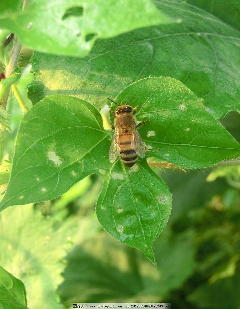 蜜蜂 动物 昆虫 蜂蜜 植物 膜翅目 细腰亚目 生物 生物世界 摄影 72