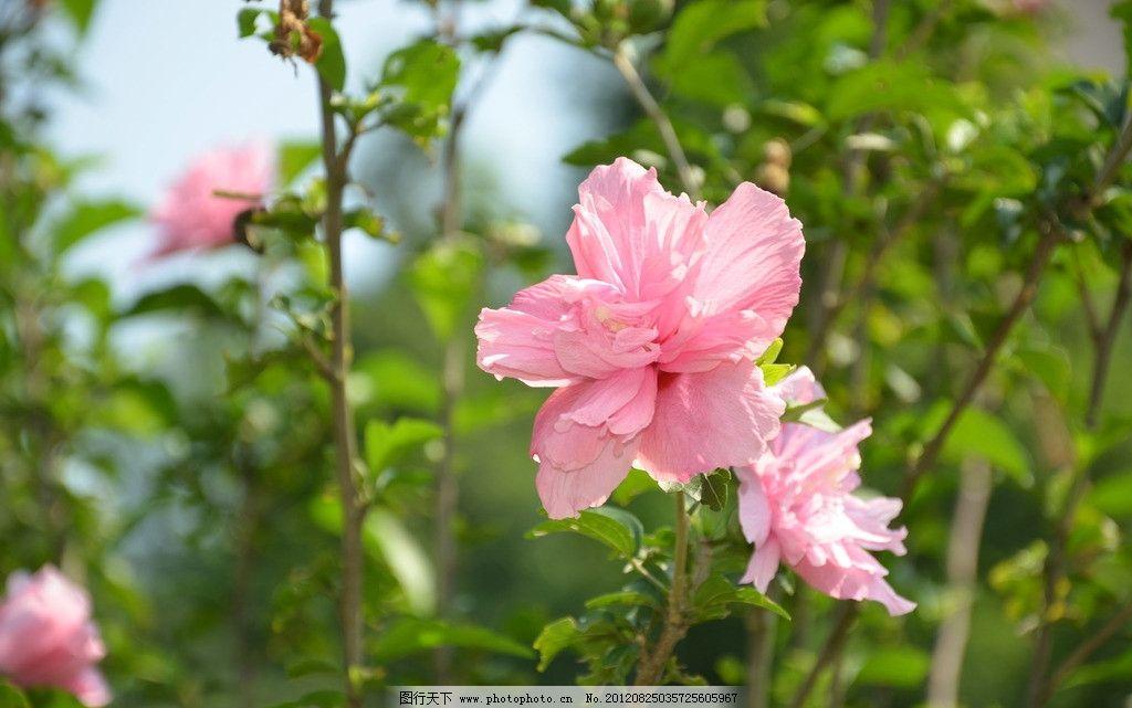 木槿花 花卉 木槿 朝开暮落花 单生 叶腋 花冠 钟状 粉红色 花卉系列