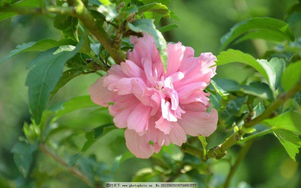 木槿花 花卉 朝开暮落花 单生 叶腋 花冠 钟状 粉红色 花卉系列