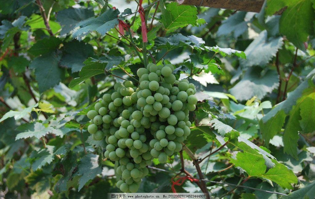 葡萄图片 葡萄 葡萄树枝 树叶 葡萄叶子 水果 田园风光 自然景观 摄影