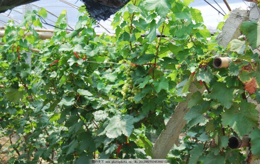 葡萄树图片 葡萄 葡萄树枝 树叶 葡萄叶子 水果 葡萄树 田园风光 自然